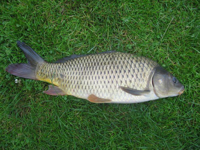 какая рыба болеет описторхозом