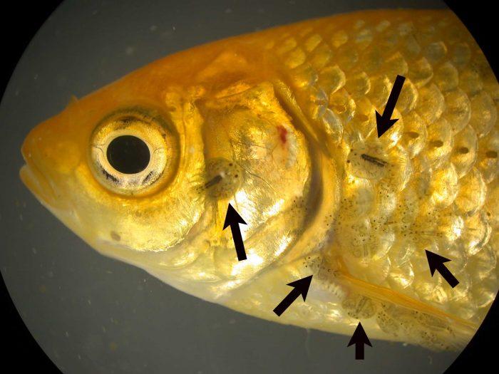 в одной рыбе можно найти тысячу личинок