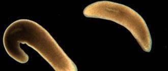 паразит планария