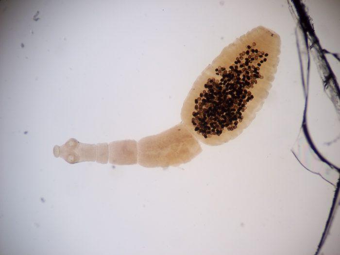 личиночная стадия эхинококк гранулезус