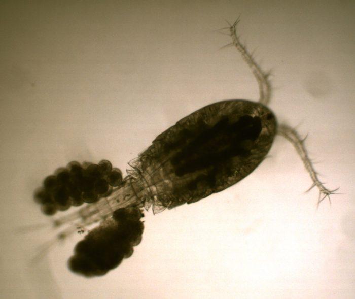 личинки вызревают в мельчайших рачках-циклопах