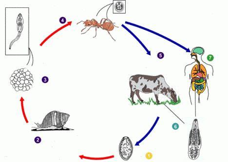 жизненный цикл ланцетовидного сосальщика