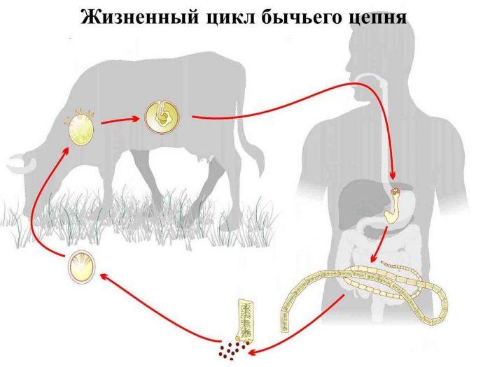 цикл развития цепня