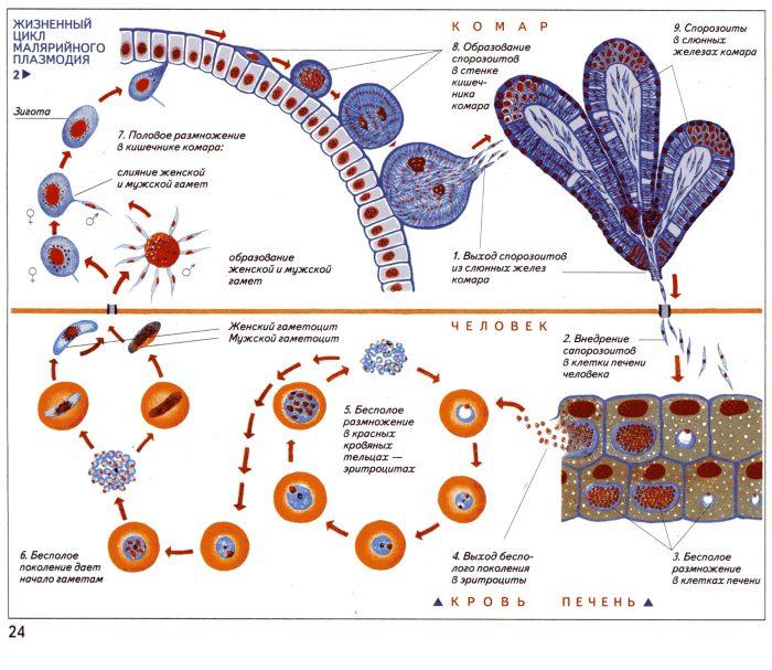 развитие малярийного плазмодия