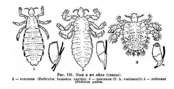 виды вшей паразитирующих на человеке