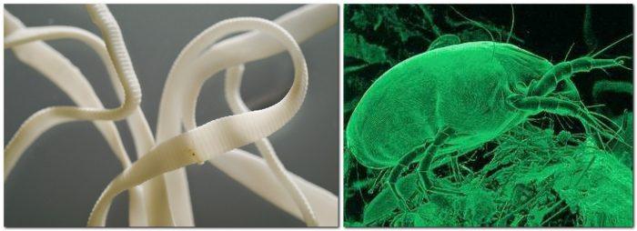 различия между сапрофитами и паразитами