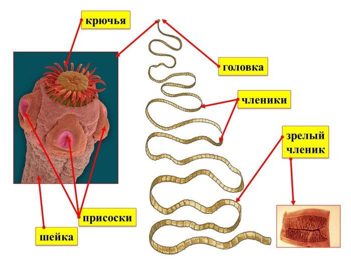 строение плоских червей паразитов